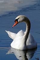 Mute Swan (Cygnus olor), Lake Reintaler-See, Kramsach, Tyrol, Austria, Europe