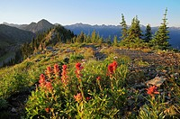 Indian paintbrush wildflowers, Idaho Peak, Selkirk Mountains, British Columbia, Canada