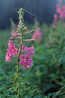 Close_up of fireweed Epilobium angustifolium in Willmore Wilderness Park, Alberta, Canada