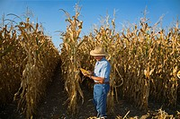 Agriculture _ A farmer/grower checks the quality of an ear of mature grain corn in a partially harvested field / Southeast Missouri, USA