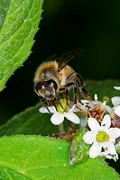 Agriculture _ A nectaring honey bee Apis mellifera working on a flower / Michigan, USA