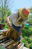 Agriculture _ A beekeeper examines a frame of a bee hive covered with honeycomb / Michigan, USA