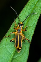 Agriculture _ Margined leatherwing Chauliognathus marginata coated with pollen / Michigan, USA