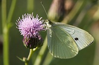 Agriculture _ Cabbage butterfly Pieris rapae nectaring on a thistle flower / Michigan, USA