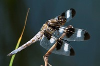 Agriculture _ Lateral view of a Twelve_spotted skimmer dragonfly Libellula pulchella / Michigan, USA