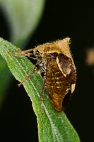 Agriculture _ Treehopper Ceresa diceros adult on a leaf / Michigan, USA