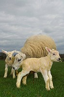 Livestock _ Beltex ewe on a green pasture with her newborn twin lambs / Cumbria, England, United Kingdom