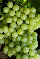 Agriculture _ Closeup of a mature cluster of Pearlette table grapes on the vine, ready for harvest / CA _ San Joaquin Valley