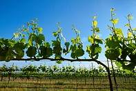 Agriculture _ Wine grape vineyard with early Spring foliage growth and immature grape clusters / CA _ Salinas Valley