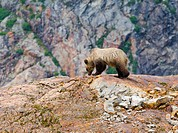 Young female Grizzly bear Ursus arctos horribilis on top of a rock formation called a Roche Moutonnee created by the passing of a glacier. Coastal Mou...
