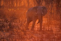 Elephant Elephantidae at sunset, Savuti, Chobe National Park, Botswana, Africa