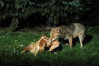 Red Fox (Vulpes vulpes) catching a chicken, prey