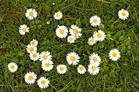 Lawn Daisies (Bellis perennis)