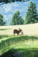 Two bucks in a sunny meadow