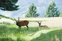 Bucks in a meadow