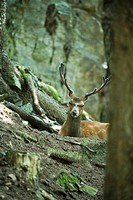 Buck looking over tree roots (thumbnail)