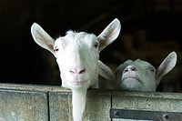 Goats looking over barn door