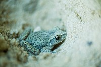 Midwife toad Alytes obstetricans in the sand