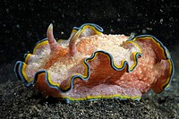 Nudibranch (Glossodoris cincta). Lembeh Strait, Celebes Sea, North Sulawesi, Indonesia