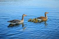 Greylag Goose (Anser anser) family, goslings