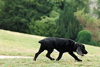 Black dog walking in park