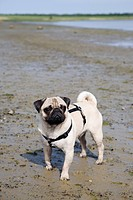 Pug dog, beach