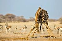 Giraffe (Giraffa camelopardalis) drinking from a water hole with a herd of Springbok (Antidorcas marsupialis) at back, Nxai Pan, Makgadikgadi Pans Nat...