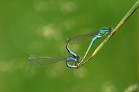 Blue-tailed Damselfly Ischnura elegans, mating