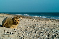 Young Gray Seal (Halichoerus grypus) cub alone on a beach, Heligoland, Schleswig-Holstein, Germany, Europe