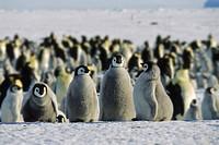 Emperor Penguins (Aptenodytes forsteri), chicks, Antarctica