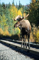 Moose or Elk bull (Alces alces) on a railway line, Alaska, North America