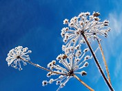 Hoarfrost on umbel