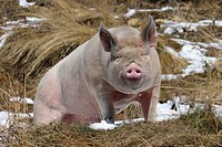 Domestic Pig Sus scrofa scrofa in snow patched field