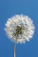 Dandelion, dandelion seed blowball (Taraxacum)