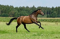 Thoroughbred horse galloping in the paddock