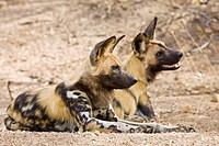 African Wild Dogs (Lycaon pictus), Kruger National Park, South Africa