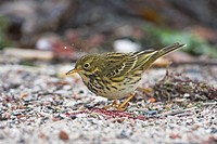 Close_up of Meadow Pipit Anthus pratensis foraging in field