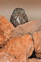 Close_up of Little owl Athene noctua on stone