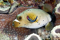 Close_up of Pufferfish underwater, Pacific Island, Micronesia, Solomon Islands