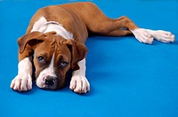 Portrait of a Boxer puppy, lying down, looking up at viewer