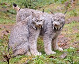 Two lynxes in forest