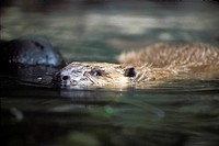 Beaver Castor canadensis swimming in water