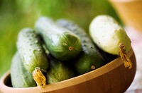 Freshly Harvested Cucumbers in a Bamboo Bowl. Cucumis sativus.