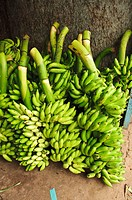 Bunches of green bananas  Kollam, kerala, india