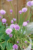 Flowering chives growing in pot