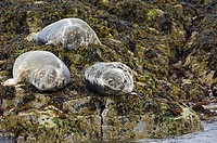 Grey Seals, Scotland, Halichoerus grypus