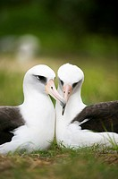 Laysan Albatross Phoebastria immutabilis courting pair, Midway Atoll, Northwestern Hawaiian Islands