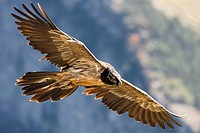 Lammergeier Gypaetus barbatus in flight at Ordesa and monte perdido national park, Huesca Province, Aragon, Pyrenees, Spain