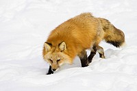 Red Fox Vulpes vulpes in winter