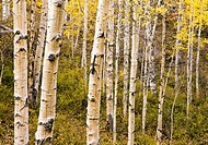 A tangle of aspen trunks and branches reside on a hillside in the La Sal mountains in autumn